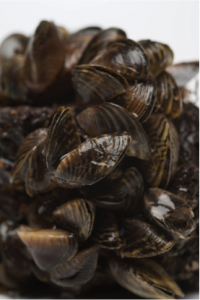 Zebra mussels are freshwater mussels originally indigenous to lakes and rivers of Russia and Ukraine; they are now thriving in numerous bodies of fresh water worldwide. Their dense growth blocks pipelines and clogs water intakes, among other detrimental effects.