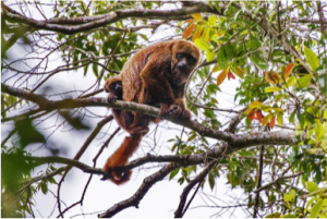 Brown Howler Monkey According to a recent Science Daily report, thousands of brown howler monkeys in a forest in southeastern Brazil have died of yellow fever.